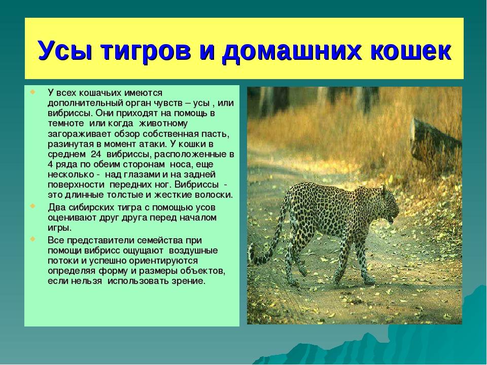 Усы тигров и домашних кошек У всех кошачьих имеются дополнительный орган чувс...