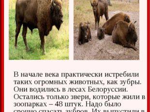 В начале века практически истребили таких огромных животных, как зубры. Они