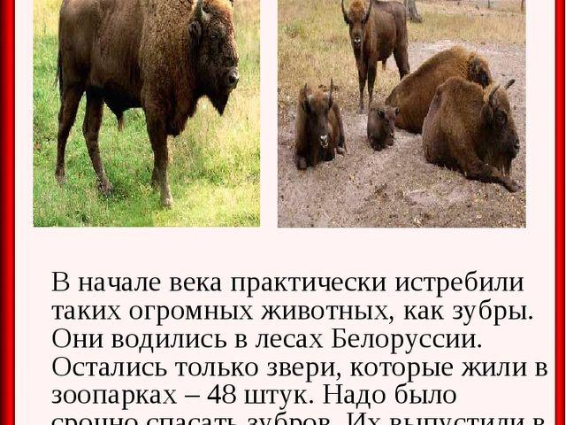 В начале века практически истребили таких огромных животных, как зубры. Они...