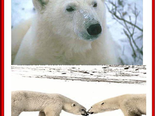 БЕЛЫЙ МЕДВЕДЬ БЕЛЫЙ МЕДВЕДЬ хищное млекопитающее, самый крупный из современны...