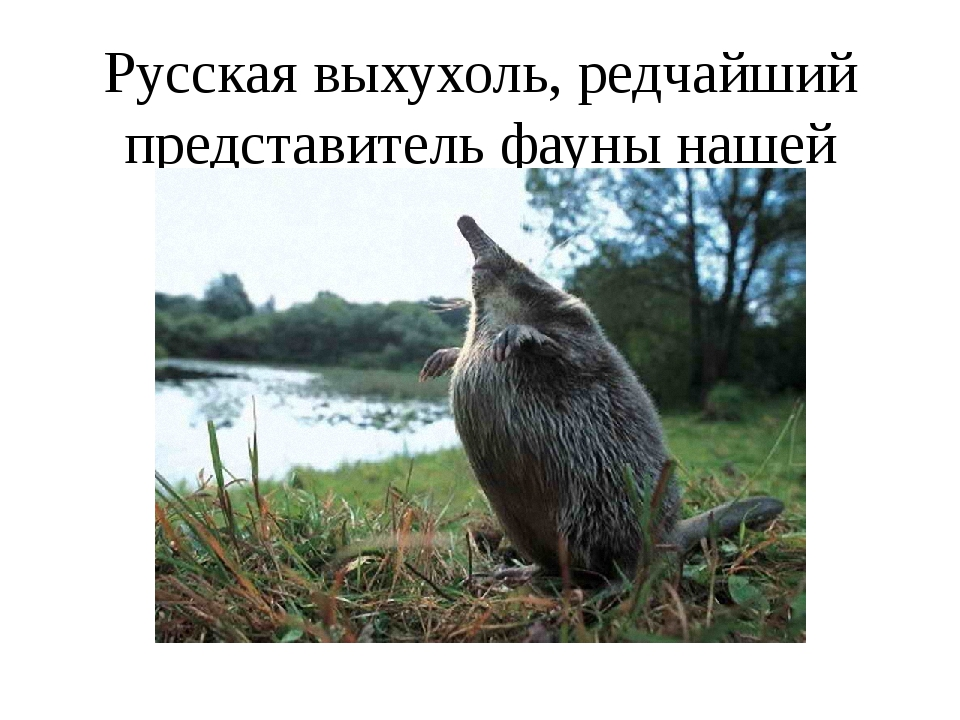 Русская выхухоль, редчайший представитель фауны нашей страны.