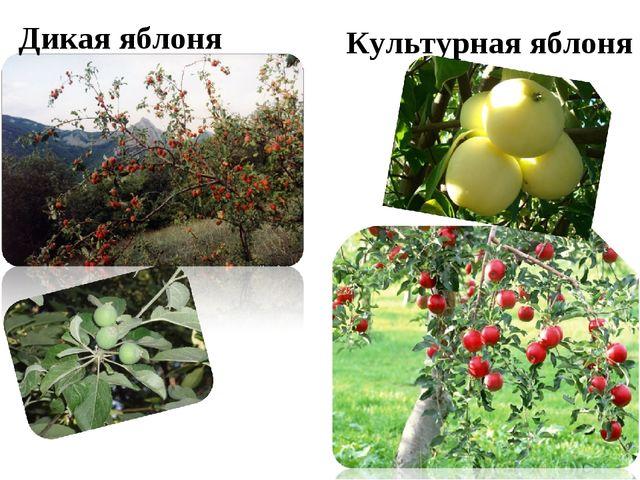 Дикая яблоня Культурная яблоня