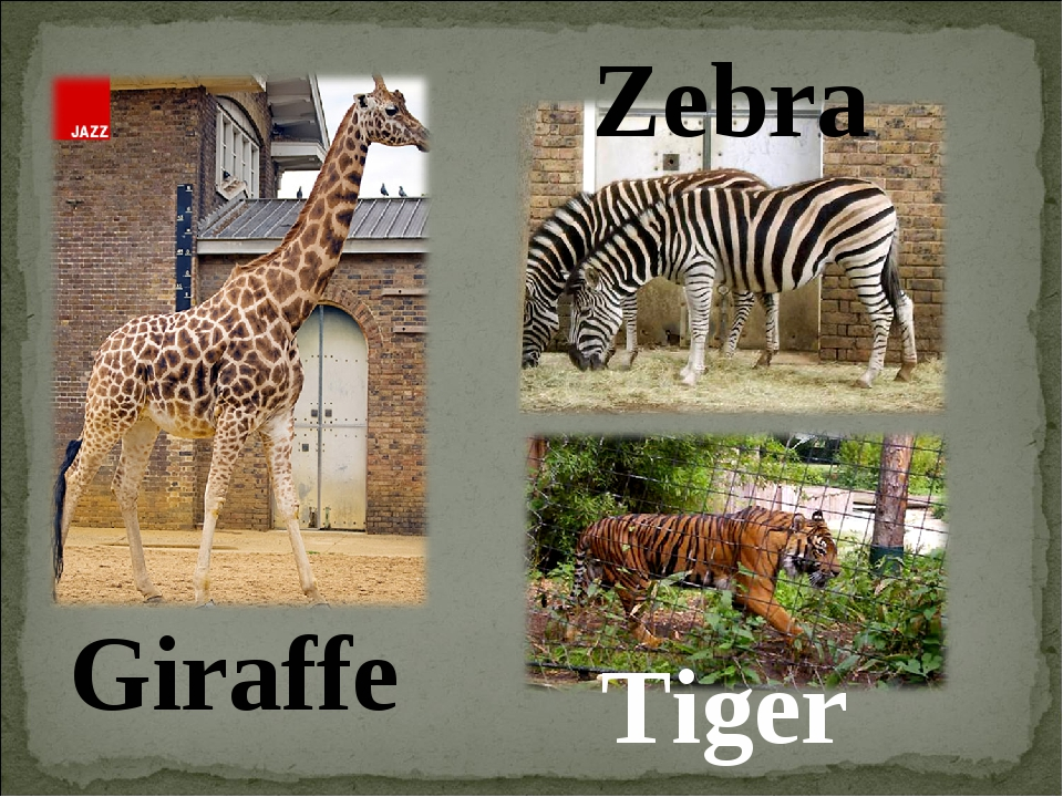 Giraffe Zebra Tiger