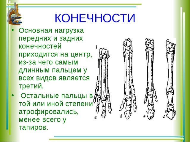 КОНЕЧНОСТИ Основная нагрузка передних и задних конечностей приходится на цент...