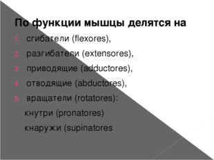 По функции мышцы делятся на сгибатели (flexores), разгибатели (extensores), п