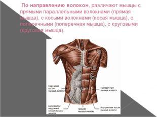 По направлению волокон, различают мышцы с прямыми параллельными волокнами (п