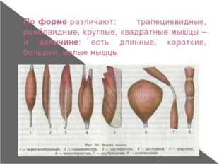 По форме различают: трапециевидные, ромбовидные, круглые, квадратные мышцы –