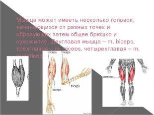 Мышца может имееть несколько головок, начинающихся от разных точек и образующ