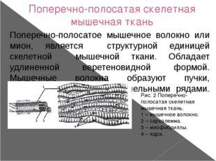 Поперечно-полосатая скелетная мышечная ткань Поперечно-полосатое мышечное вол
