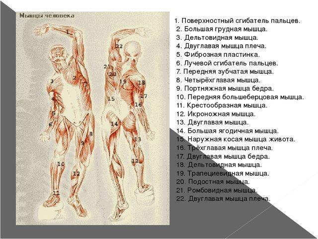 1. Поверхностный сгибатель пальцев. 2. Большая грудная мышца. 3. Дельтовидная...