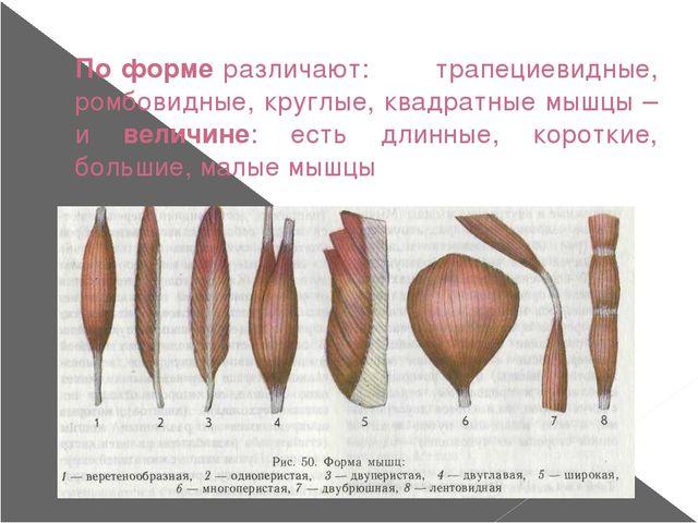 По форме различают: трапециевидные, ромбовидные, круглые, квадратные мышцы –...