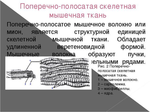 Поперечно-полосатая скелетная мышечная ткань Поперечно-полосатое мышечное вол...