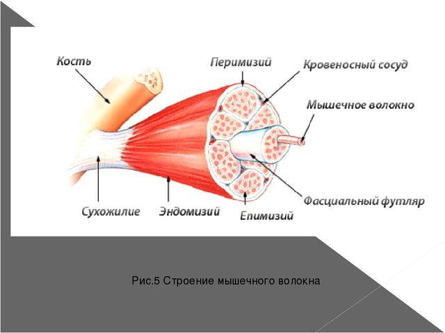 Рис.5 Строение мышечного волокна