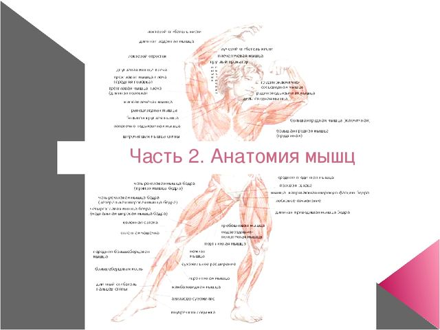 Часть 2. Анатомия мышц