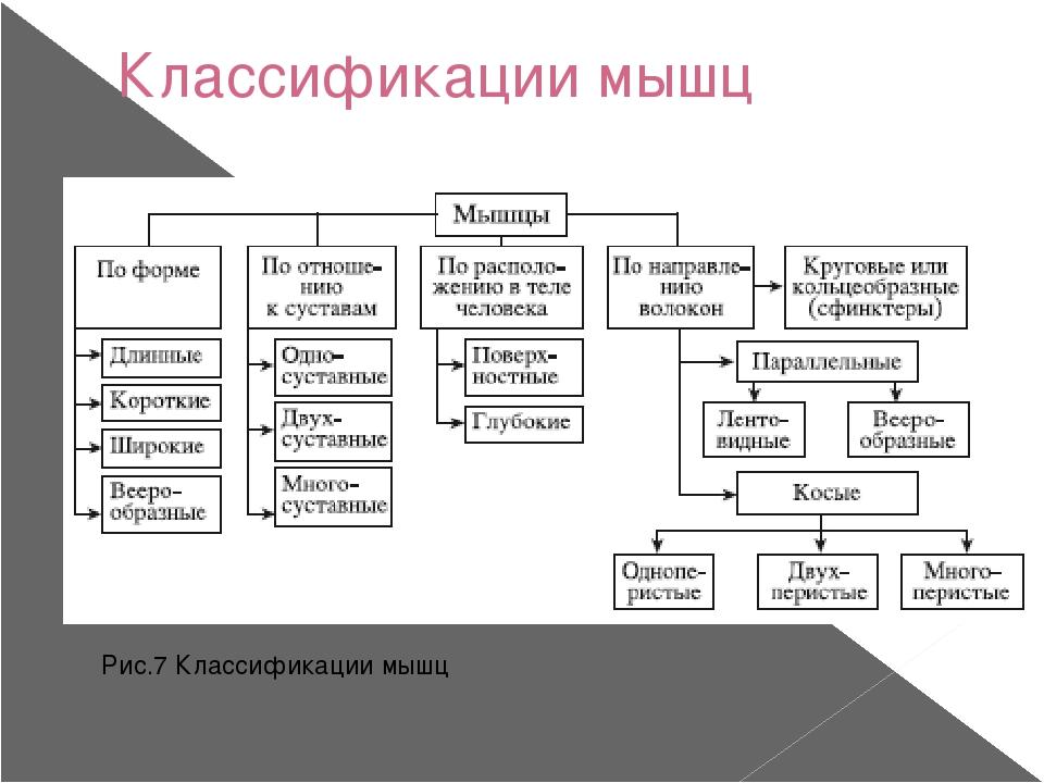 Классификации мышц Рис.7 Классификации мышц