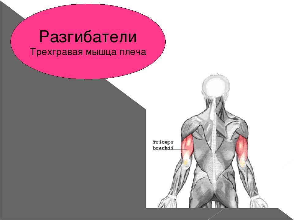 Разгибатели Трехгравая мышца плеча
