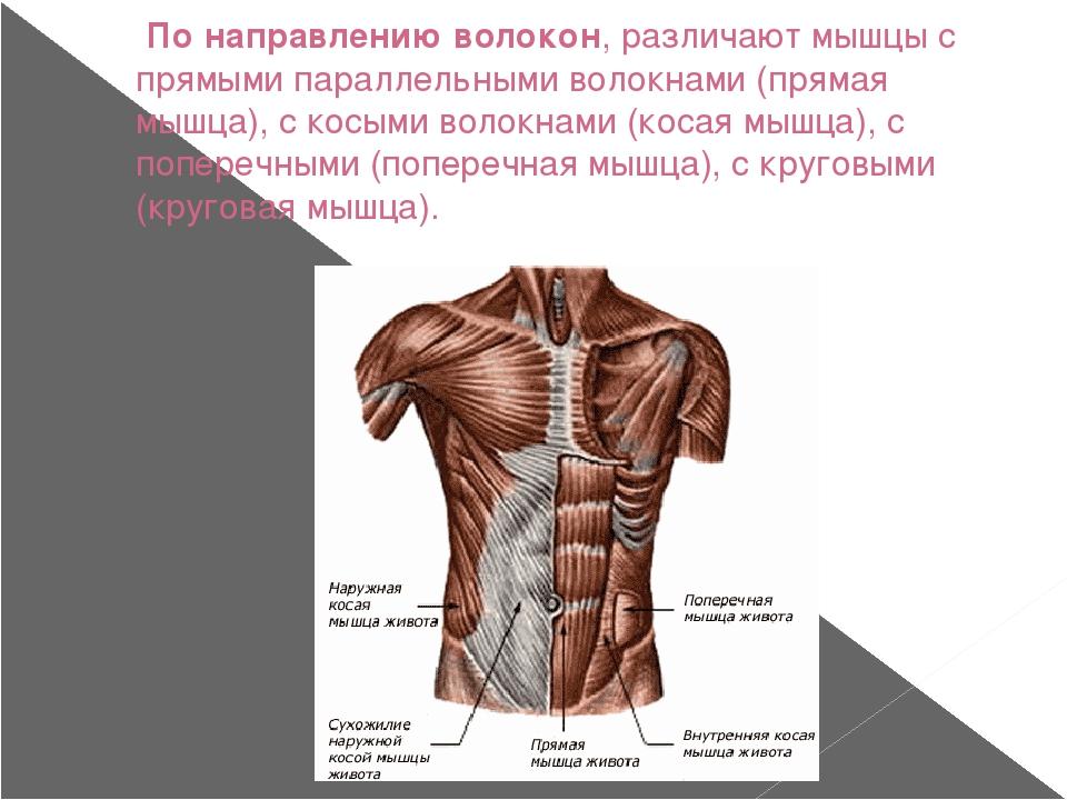 По направлению волокон, различают мышцы с прямыми параллельными волокнами (п...