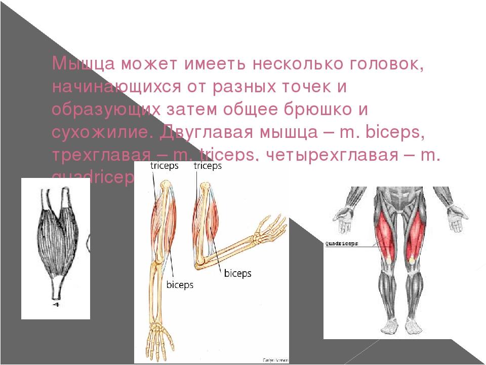 Мышца может имееть несколько головок, начинающихся от разных точек и образующ...