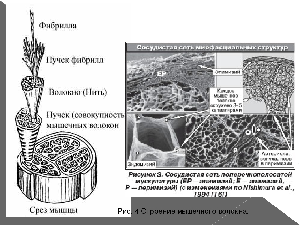 Рис. 4 Строение мышечного волокна.