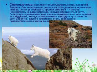 Снежные козы населяют только Скалистые горы Северной Америки. Они невероятные