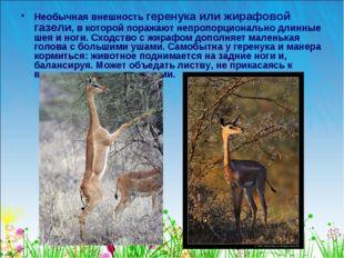 Необычная внешность геренука или жирафовой газели, в которой поражают непропо
