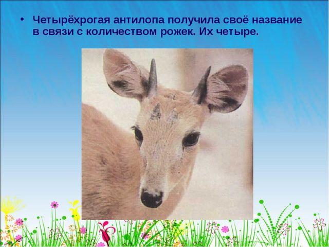 Четырёхрогая антилопа получила своё название в связи с количеством рожек. Их...