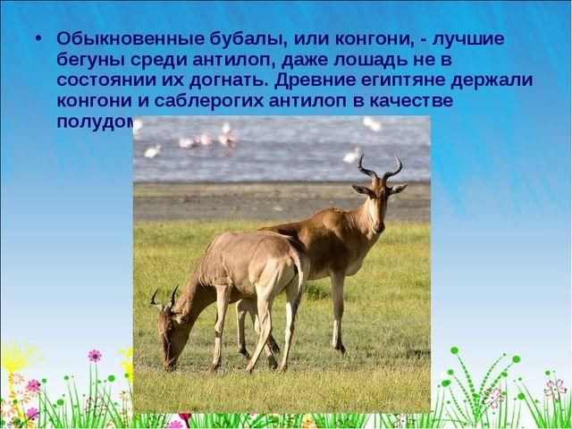 Обыкновенные бубалы, или конгони, - лучшие бегуны среди антилоп, даже лошадь...