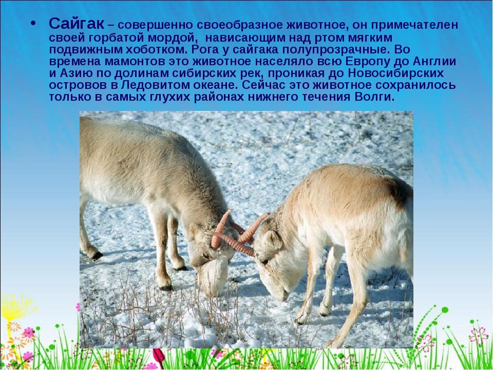 Сайгак – совершенно своеобразное животное, он примечателен своей горбатой мор...