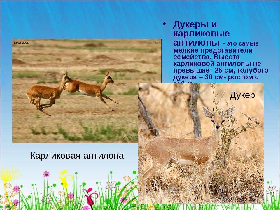 Дукеры и карликовые антилопы - это самые мелкие представители семейства. Высо...