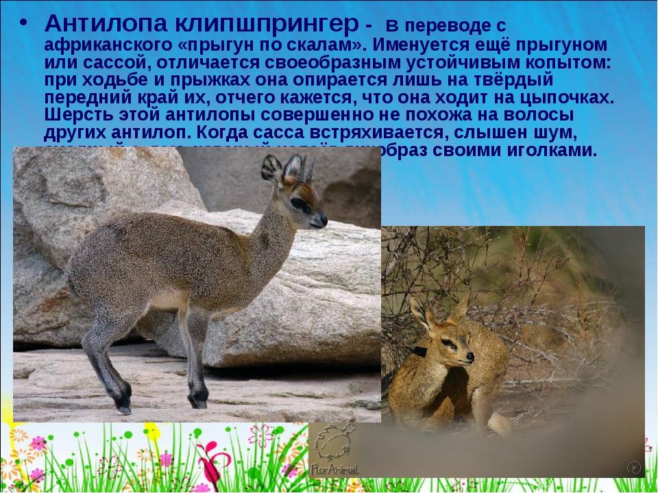 Антилопа клипшпрингер - в переводе с африканского «прыгун по скалам». Именует...