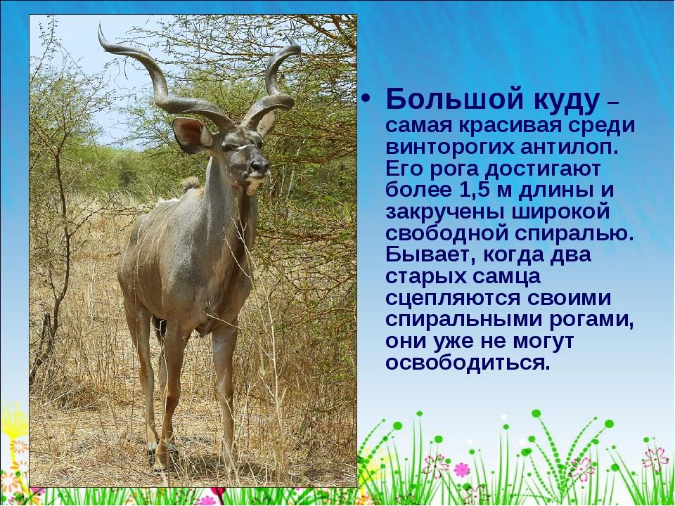 Большой куду – самая красивая среди винторогих антилоп. Его рога достигают бо...