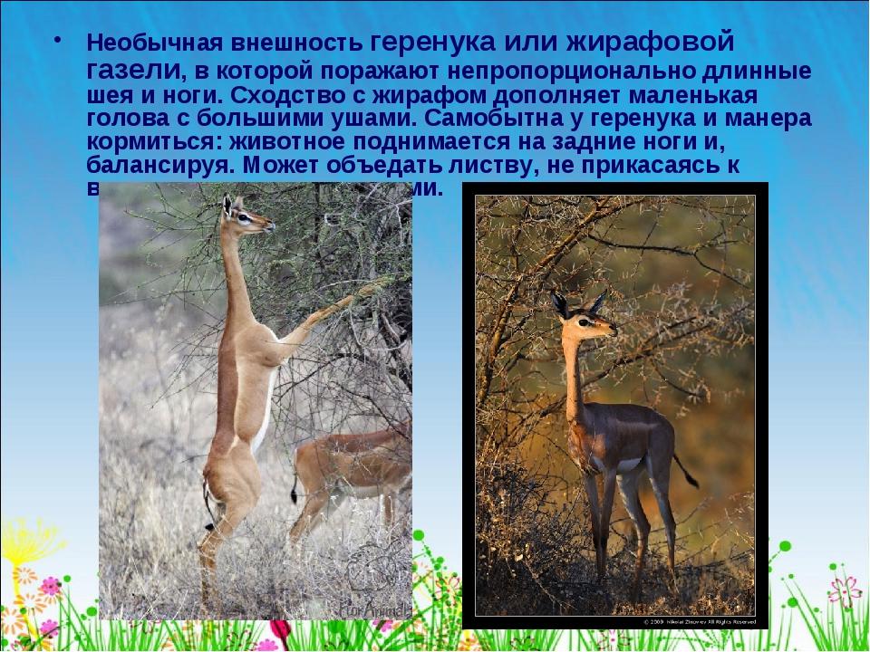 Необычная внешность геренука или жирафовой газели, в которой поражают непропо...