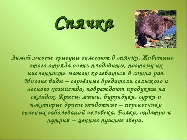 Зимой многие грызуны залегают в спячку. Животные этого отряда очень плодовиты...