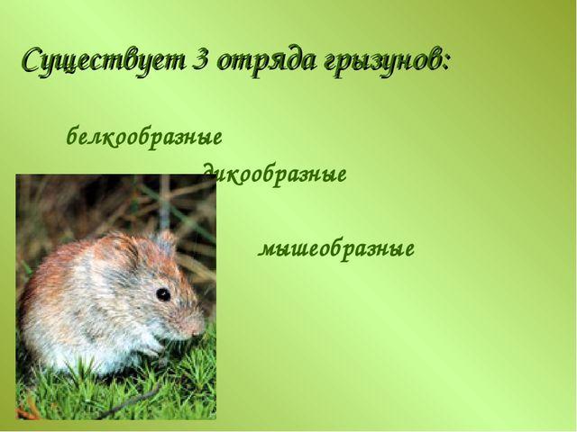 Существует 3 отряда грызунов: белкообразные дикообразные мышеобразные