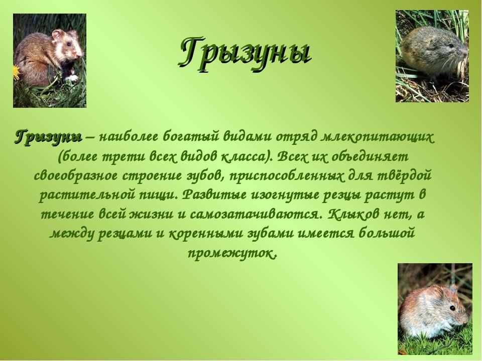 Грызуны Грызуны – наиболее богатый видами отряд млекопитающих (более трети вс...