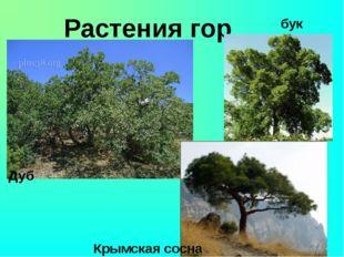 Растения гор Крымская сосна бук Дуб