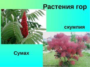 Растения гор скумпия Сумах