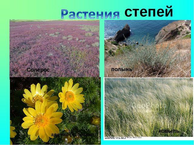 адонис ( горицвет)) ковыль полынь Солерос степей полынь