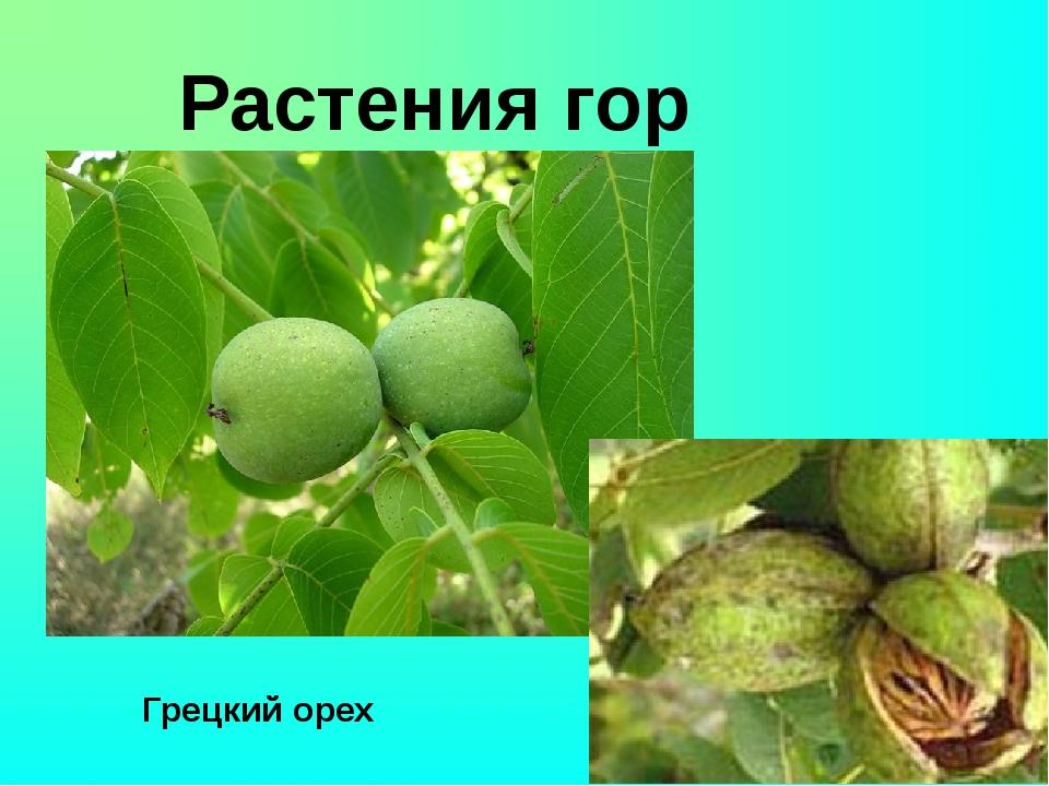 Растения гор Грецкий орех