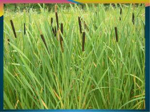 Озеро Кургальджин - царство тростников и рогоза. Их заросли занимают 70-80 %