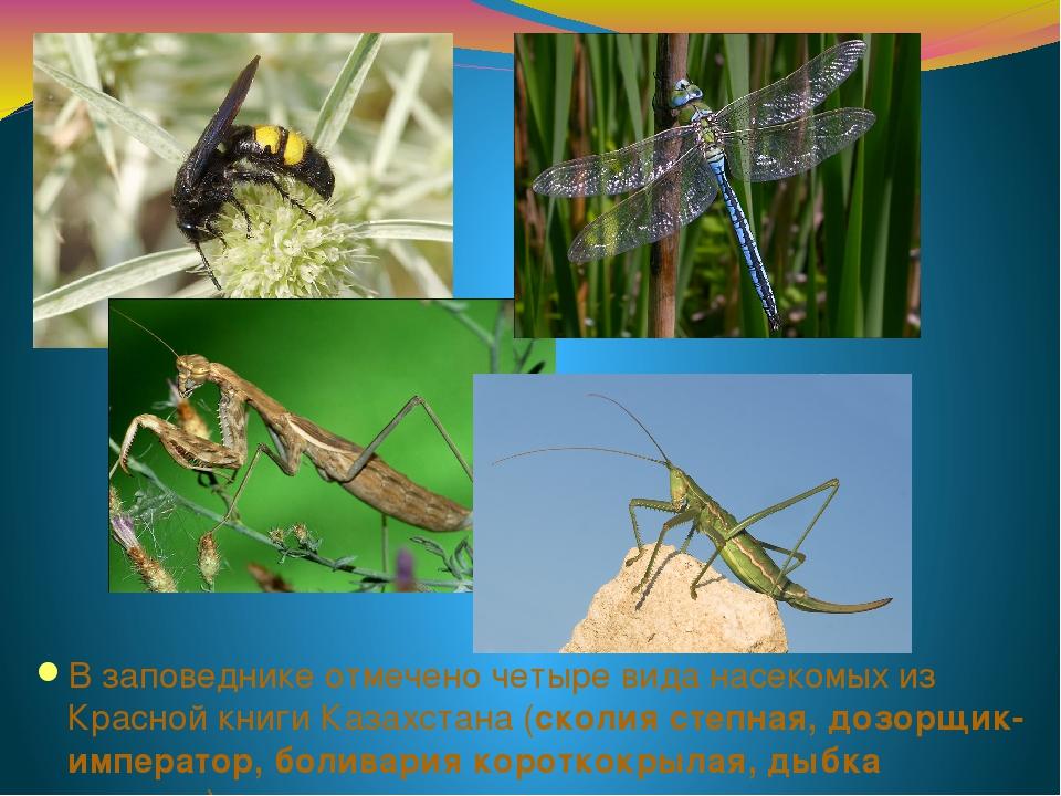 В заповеднике отмечено четыре вида насекомых из Красной книги Казахстана (ско...
