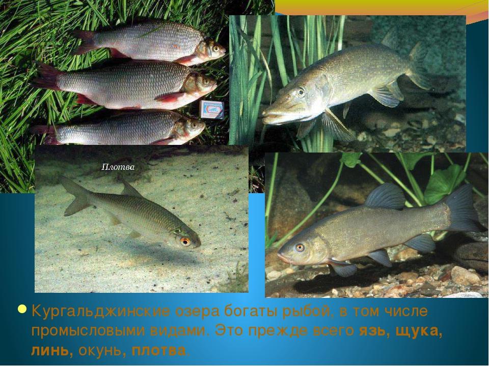 Кургальджинские озера богаты рыбой, в том числе промысловыми видами. Это преж...