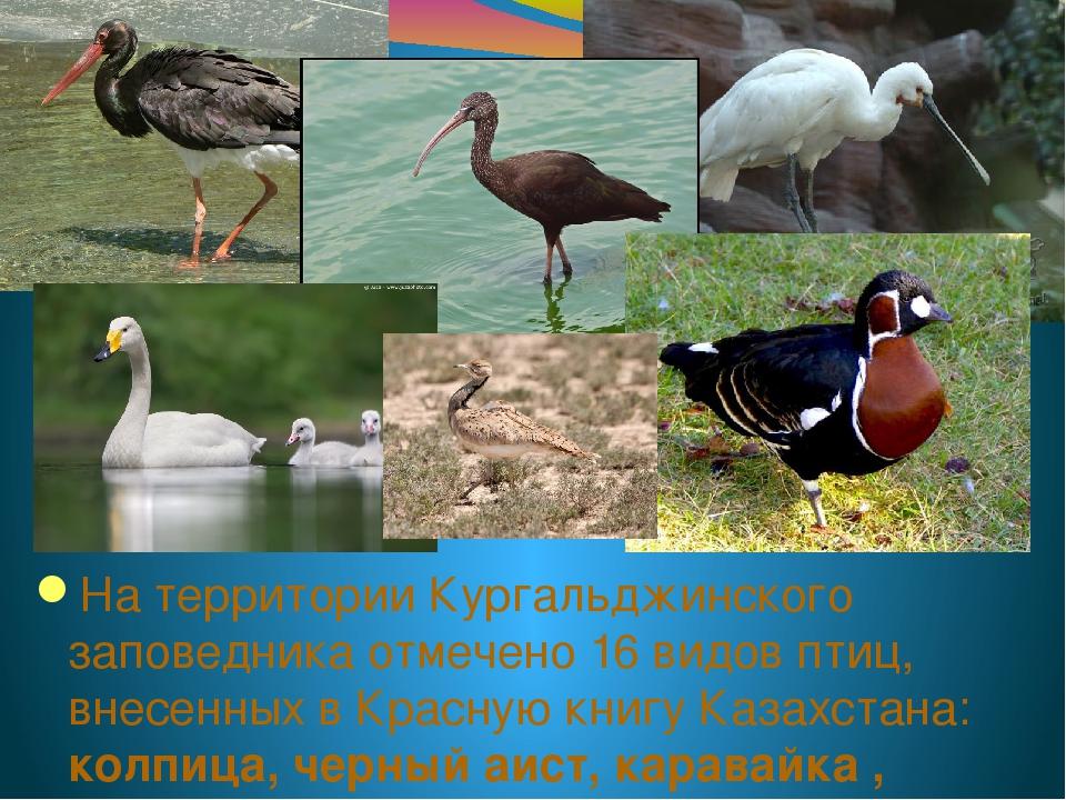 На территории Кургальджинского заповедника отмечено 16 видов птиц, внесенных...