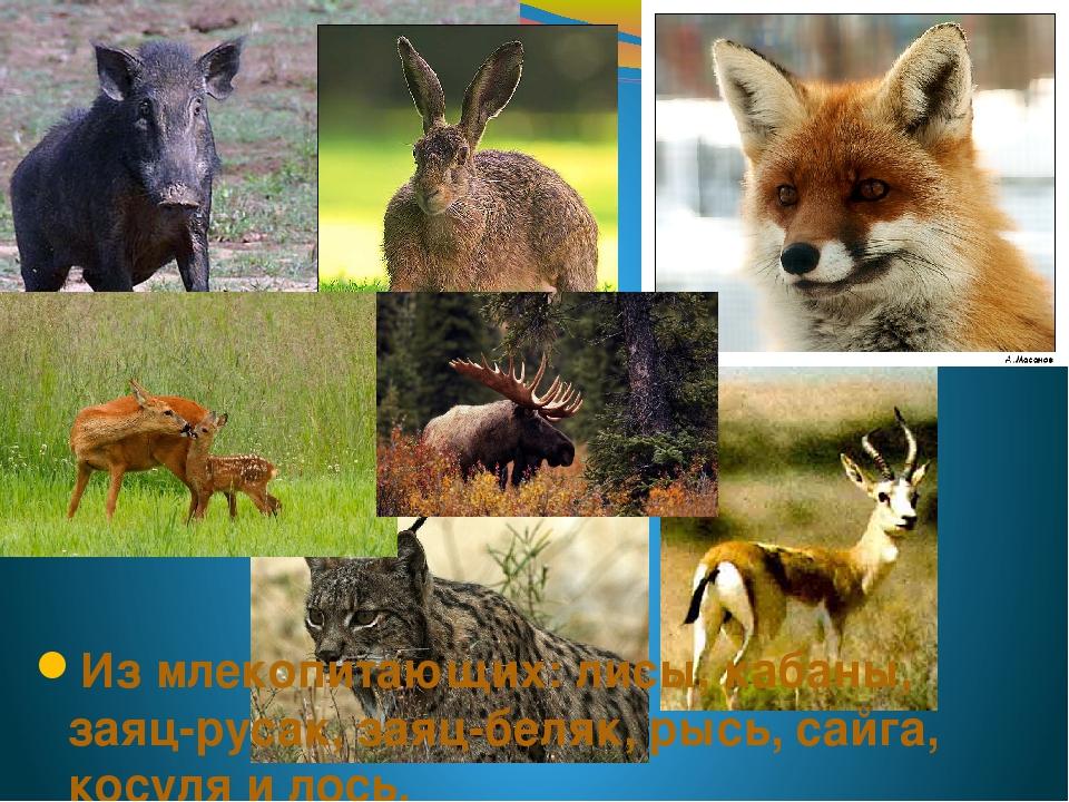 Из млекопитающих: лисы, кабаны, заяц-русак, заяц-беляк, рысь, сайга, косуля и...