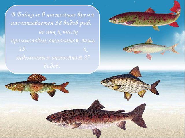 В Байкале в настоящее время насчитывается 58 видов рыб, из них к числу промыс...