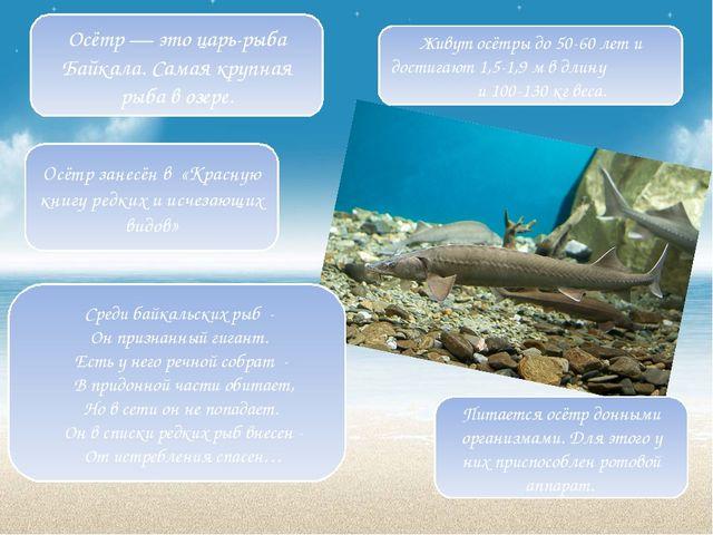 Живут осётры до 50-60 лет и достигают 1,5-1,9 м в длину и 100-130 кг веса. Пи...