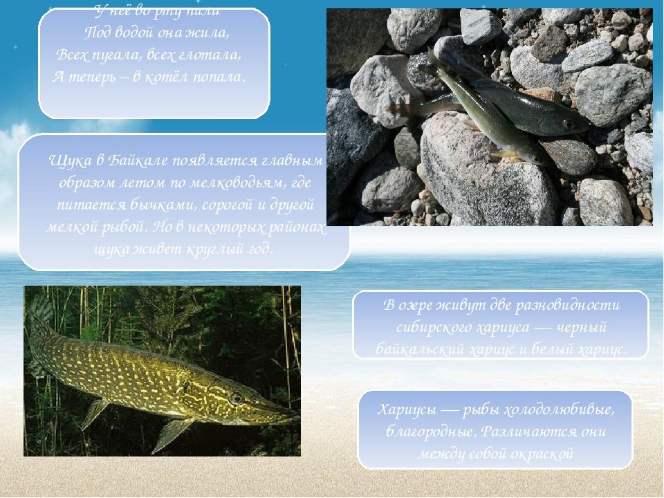 Щука в Байкале появляется главным образом летом по мелководьям, где питается...
