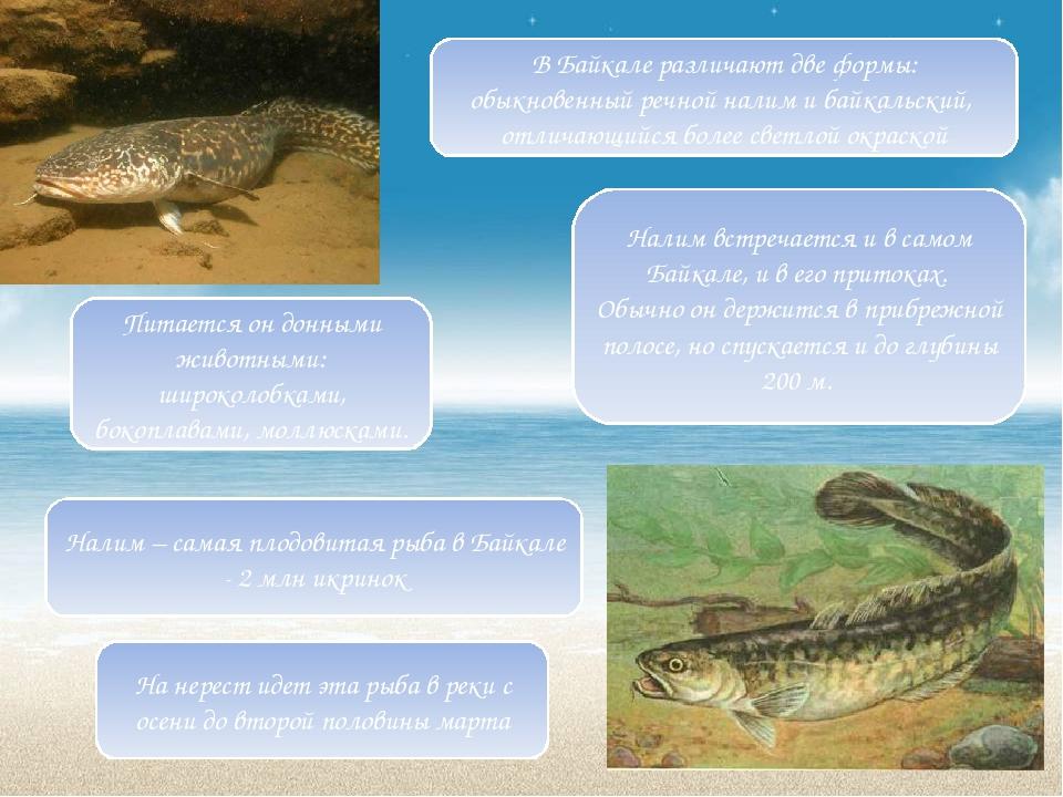 На нерест идет эта рыба в реки с осени до второй половины марта Питается он д...