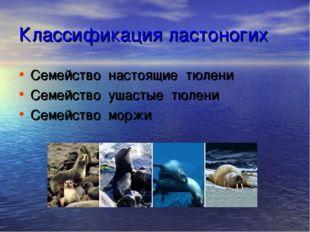 Классификация ластоногих Семейство настоящие тюлени Семейство ушастые тюлени