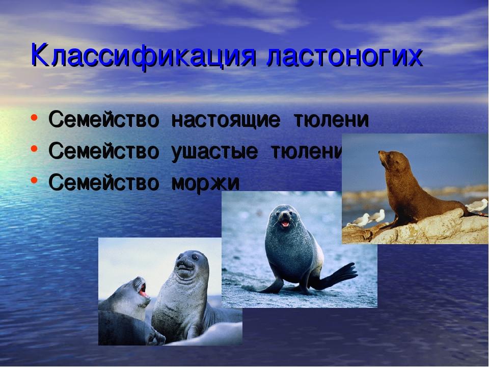 Классификация ластоногих Семейство настоящие тюлени Семейство ушастые тюлени...
